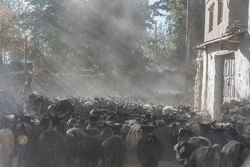 Straatbeeld van een kudde geiten een dorp in de Himalaya | Nepal