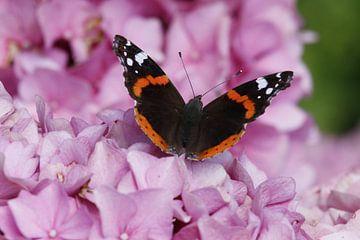 Atalanta-Schmetterling auf rosa Hortensie von Cora Unk