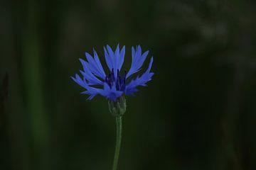 Blume von Bert Roos