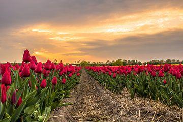 Tulpenveld Noordwijk von Thomas Paardekooper