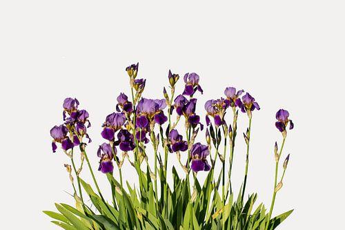 Iris Ensata (Japanse iris)