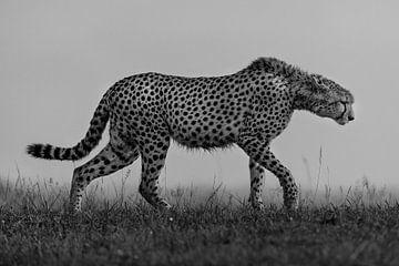Cheetah in de Masai Mara, Kenia van