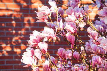 Magnolien in der Morgensonne von Daniela Tchinitchian Photography