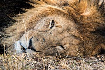 Männliches Löwe porträtfoto von Kees Molenaar