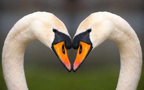 Swan Love von Brian Morgan