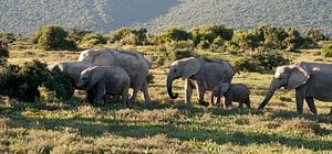Kudde olifanten in de avondzon, Addo Zuid Afrika