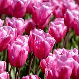 roze paarse getinte tulpen van W J Kok