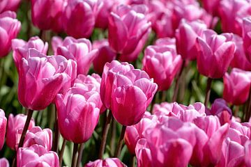 roze paarse getinte tulpen