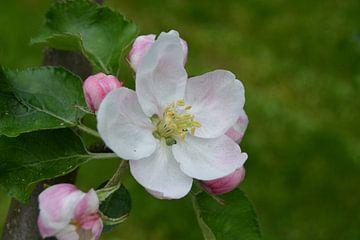 Appelbloesem, Åkerö