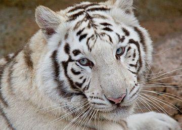 Weißer Tiger van