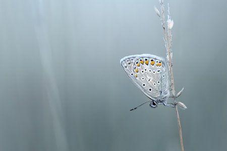 Blue morning...... (Vlinder, Zomer, Blauw) van Bob Daalder