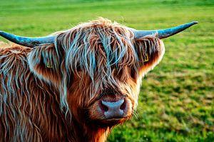 Rossige Schotse Hooglander koe kijkt je aan