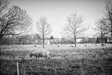 Schafe in Amby (Maastricht) von Streets of Maastricht