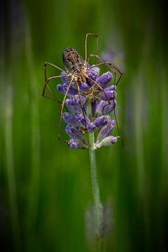 Riesige Spinne, die auf einer lila Lavendelblüte liegt von Digikhmer