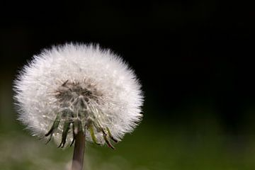 Dandelion sur Marco de Groot