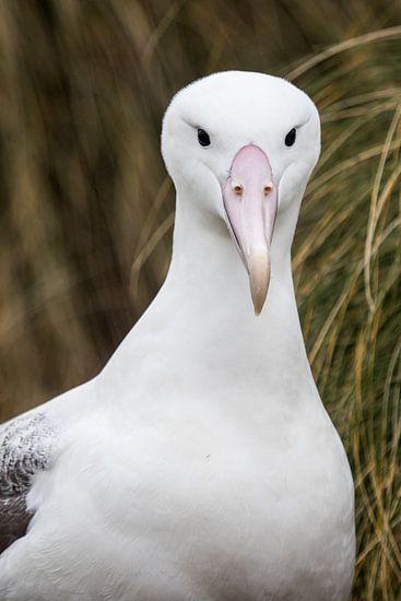 Albatros van Eefke Smets