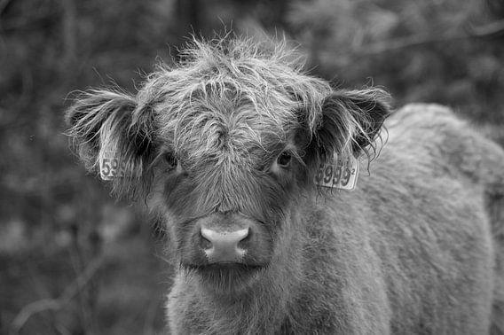 Schotse hooglander kalf van Margreet Frowijn