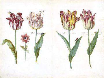 Blad uit een tulpenboek, Jacob Marrel -  ca. 1640 van Het Archief