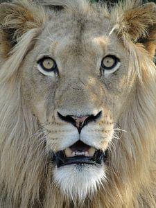 Leeuw Zuid-Afrika Close-up van