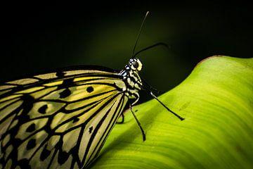 Schmetterling auf Blatt von René van der Horst
