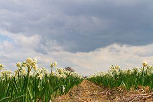narcissen veld nabij de Keukenhof