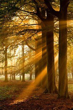 Sonnenharfen im Buchenwald von Sam Mannaerts Natuurfotografie