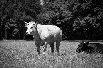 Koeien in de wei van André Dorst