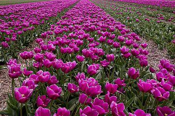 Tulpenfeld in den Niederlanden von DroomGans