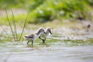 Jonge kluten op een plas in  Friesland