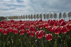 Rode Tulpen In de Polder