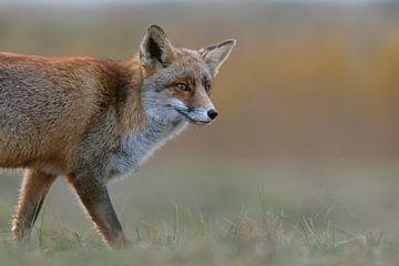 Red Fox ( Vulpes vulpes ) watching curious, soft light, close up, half body, headshot, wildlife, Eur van wunderbare Erde