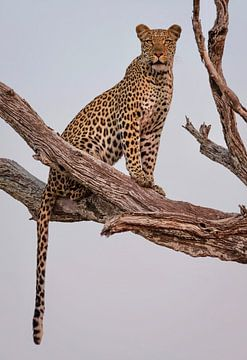 Leopard Portrait, Rob Darby von 1x