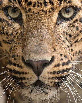 Le léopard en gros plan en couleur sur Patrick van Bakkum