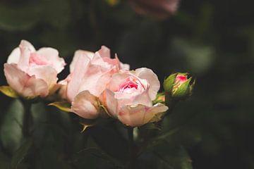 elegante rozen van Kristof Ven