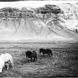 Hestar landslag sur Islandpferde  | IJslandse paarden | Icelandic horses