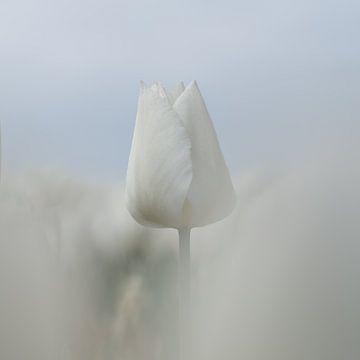 Witte tulp van Gerrit Anema