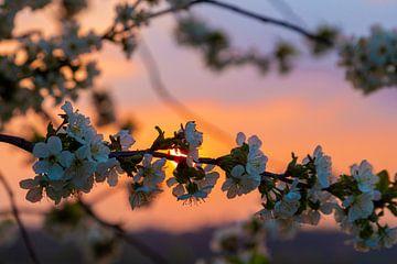 beau coucher de soleil aux couleurs chaudes entre les arbres fruitiers en fleurs à Maastricht