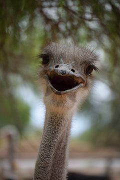 Zuid Afrikaanse struisvogel in Oudtshoorn, Zuid Afrika van