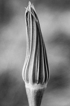 Reuzepaardenbloem (zonder pluizenbol) van Tot Kijk Fotografie: natuur aan de muur
