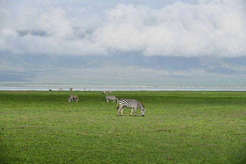 Zebras van Robert Styppa