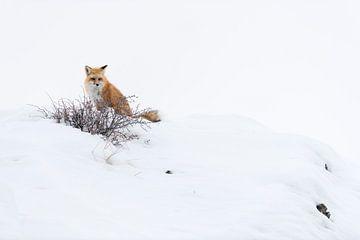 Fuchs / Rotfuchs ( Vulpes vulpes ) im Winter, Yellowstone National Park, USA. von wunderbare Erde