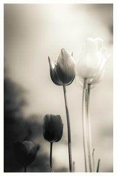 Ein Hauch von Emotionen - stimmungsvolles Blumenmeer aus Tulpen in stiller Trauer von Jakob Baranowski - Off World Jack