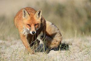 Rotfuchs ( Vulpes vulpes ), schleicht mit verschlagenem Blick direkt auf die Kamera zu, wildlife, Eu