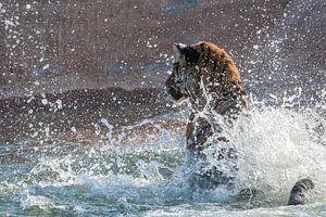 Blij zwemmende tijger van
