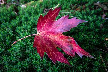 Rotes Herbstlaub von Jayzon Photo