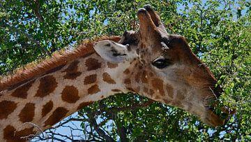 Giraffe plukt bladeren van een boom van Timon Schneider
