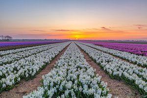 Hyacinthen Egmond