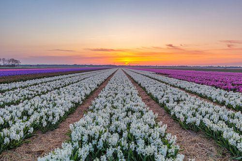 Hyacinthen Egmond van