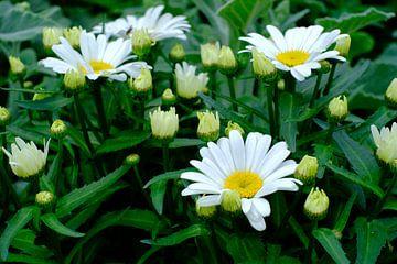 Kamille Blumen mit grünem Hintergrund von Olena Tselykh