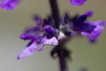 Dieses Makrofoto zeigt deutlich, wie fragil die zusammengesetzte Blume des Sage ist von whmpictures .com